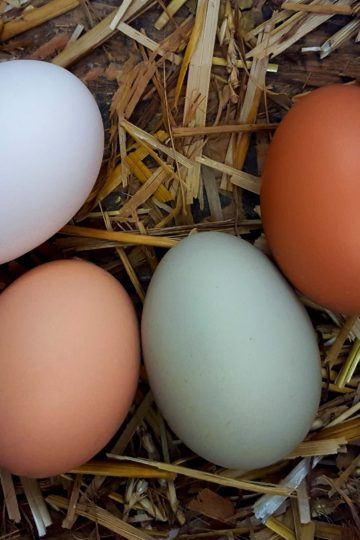 Fresh laid, multi-colored eggs in straw nest.