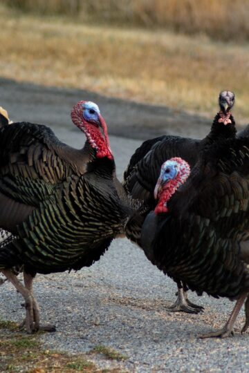 Wild turkeys on a country road