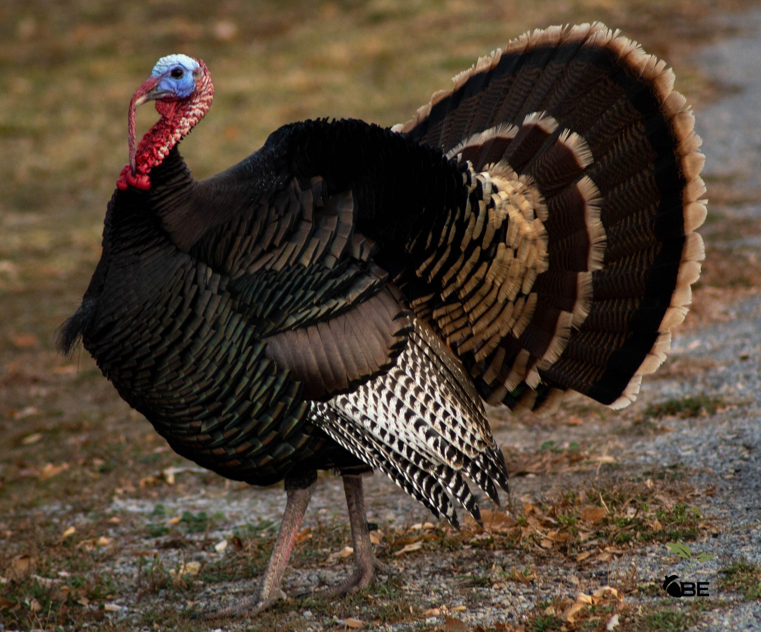 Strutting wild turkey